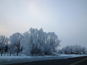 Frozen fog makes delicate ice crystals on all the branches, turning trees white.